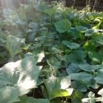 cukinia 05.06.2016 ogród permakultra kompost rybniki