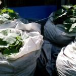 dynie kompost ogród permakultura rybniki