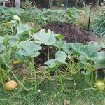 dynie w ogrodzie kompost z grzewczej pryzmy kompostowej permakultura rybniki