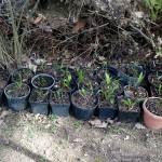 ogród czosnek niedzwiedzi sadzonki premakultura