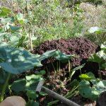 permakultura w ogrodzie kompost z pryzmy