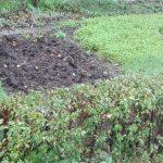 poplon w ogrodzie pszenżyto lucerna