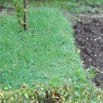 pszenżyto jako poplon w ogrodzie permakultury