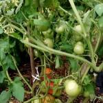 rybniki permakultura ogród pomidorki