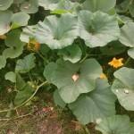 rybniki permakultura ogród dynie II